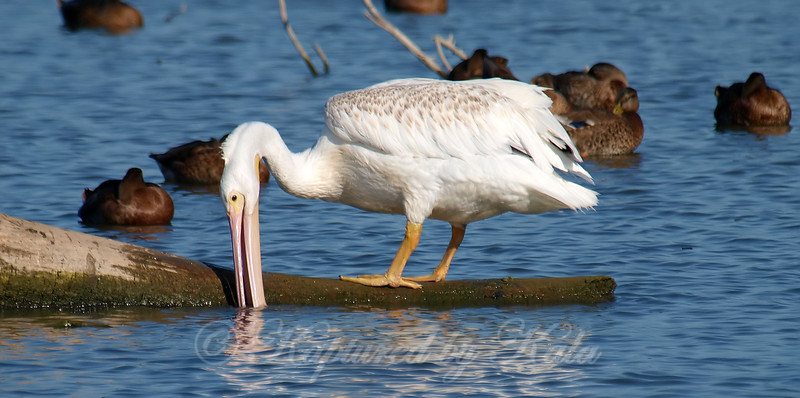 Thirsty Young Pelican