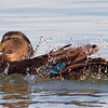 American Black Duck Bathing