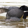 Mating Coots 5 of 8