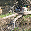 Two Mallards And A Wood Duck