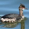 Eared Grebe Close Up