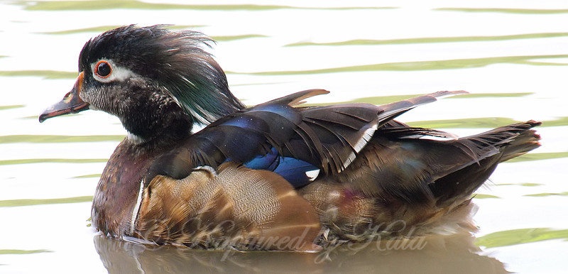 Another View Of The Odd Wood Duck