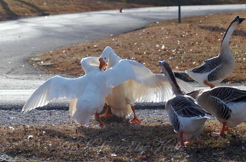 Wild Goose Chase 8