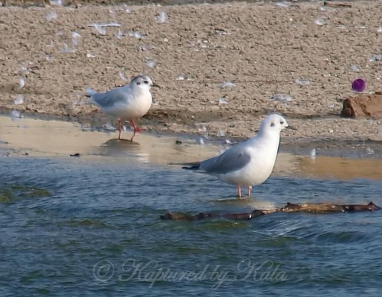 Little Gull View 1