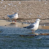 Little Gull View 1