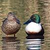 Mr. & Mrs. Northern Shoveler