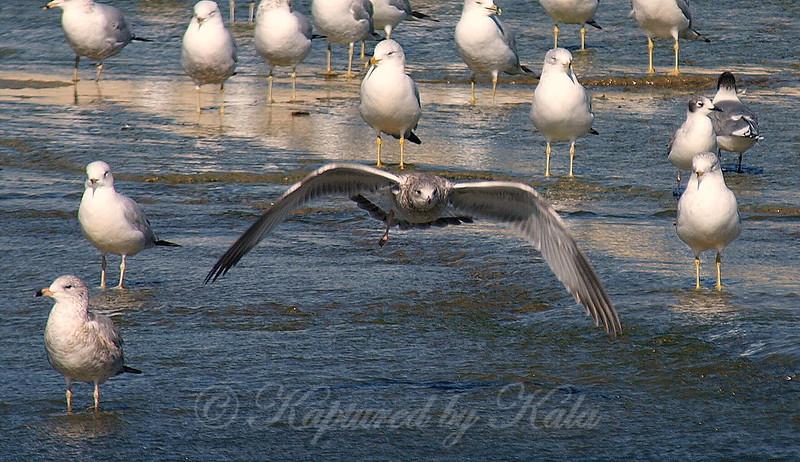 One-legged Gull In Flight