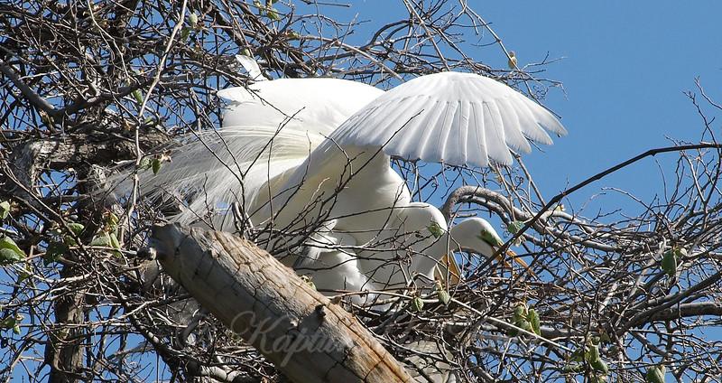 Great Egret Mating Behavior Part 3 of 7