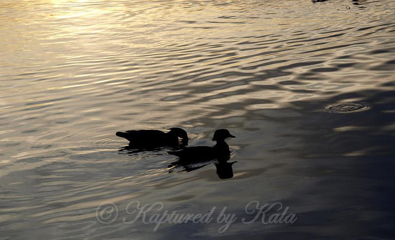 Silhouette of Wood Ducks at Dusk