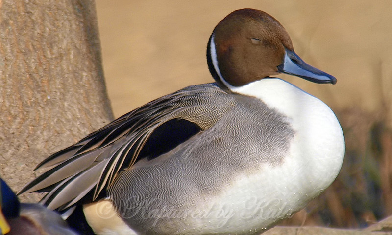 Mr. Pintail Napping