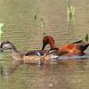 Male Cinnamon Teal & Female Wood Duck View 2