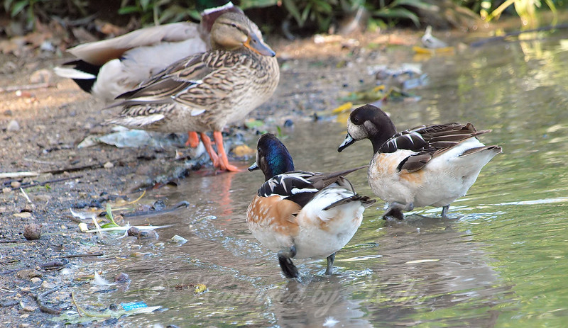 Newcomers Being Checked Out By A Mallard