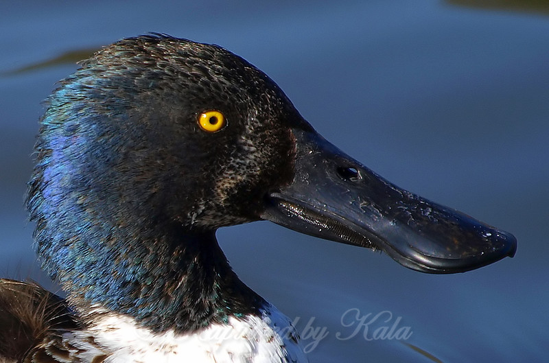 Portrait of a Male Northern Shoveler