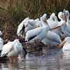 Pelican Preening Party