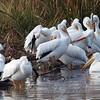 Pelican Preening Party