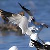 Close-up of Attacking Gull B