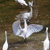 Snowy Egret Victoria Secret Fashion Show