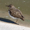 Spotted Sandpiper On One Leg