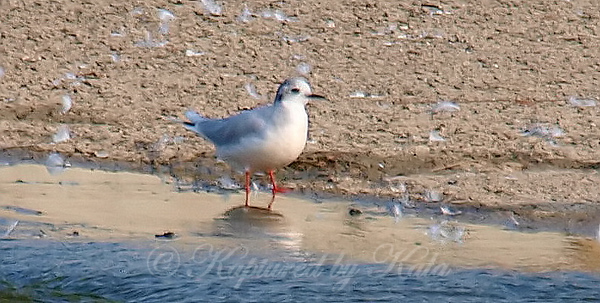 Little Gull View 2