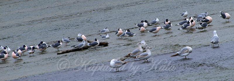 Pink Gulls?