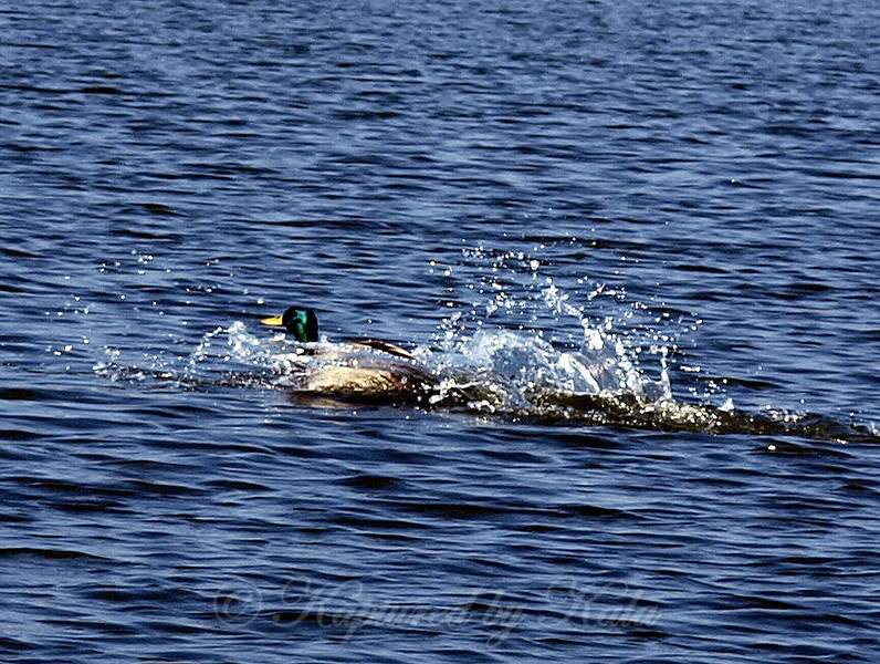 Mallard Drake Speeding Thru the Water on a Beautiful Afternoon