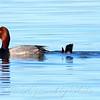 Redhead Diving Behavior 2