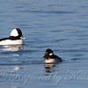 Buffleheads View 1