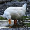 Crested American Pekin Duck