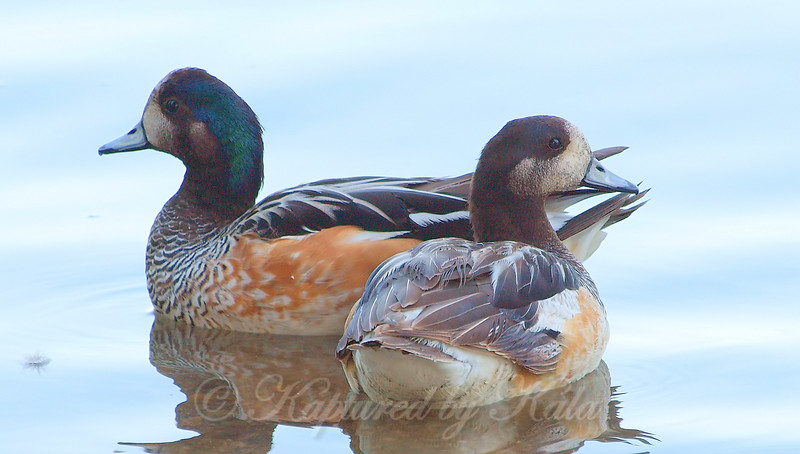 A Pair Of Chiloé Wigeons
