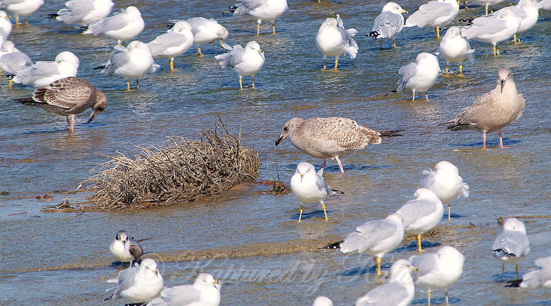 A Nice Mix Of Gulls
