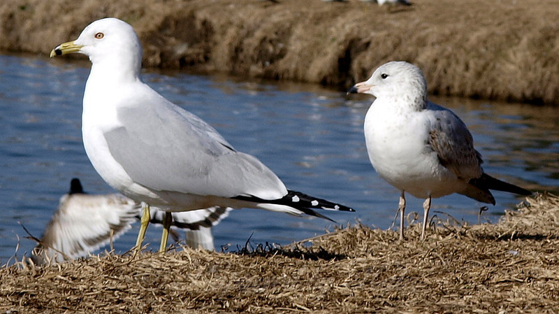 Mature Ring Billed Gull Standing by a First Year Ring Billed Gull