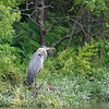 Adult Great Blue Heron