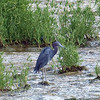 Little Blue Heron On The Spillway