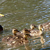 Mama & Papa Mallard Take the Kids Out For a Swim
