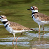 A Pair Of Killdeer