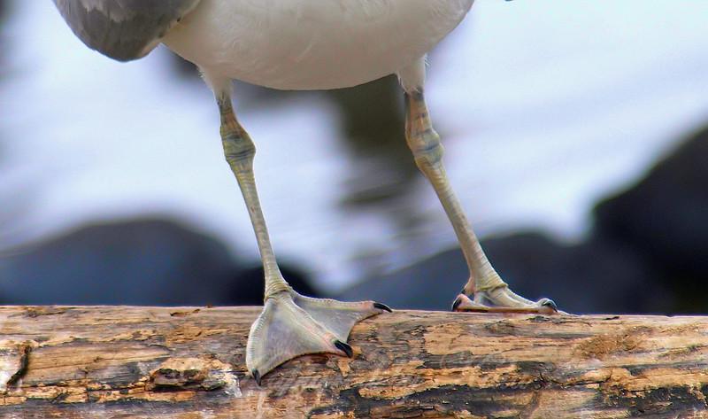 Goth Gull
