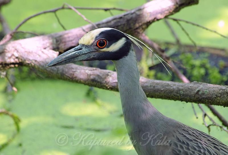 Eye to Eye With A Yellow-crowned Night Heron