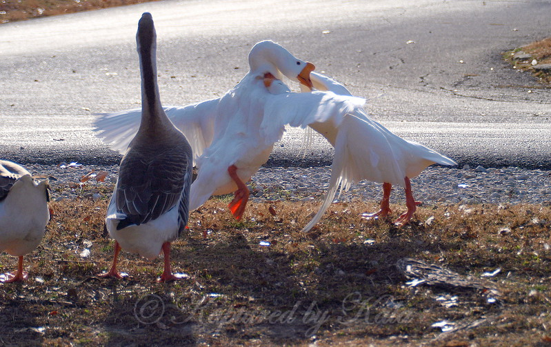 Wild Goose Chase 4