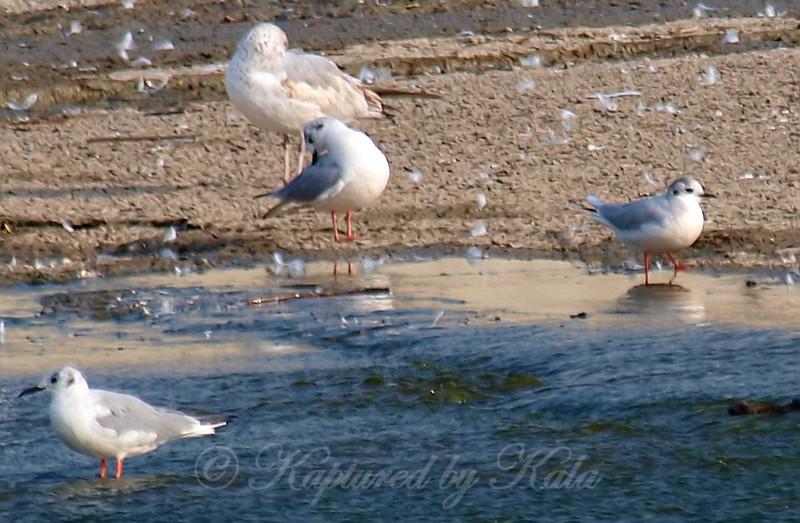 Little Gull View 5