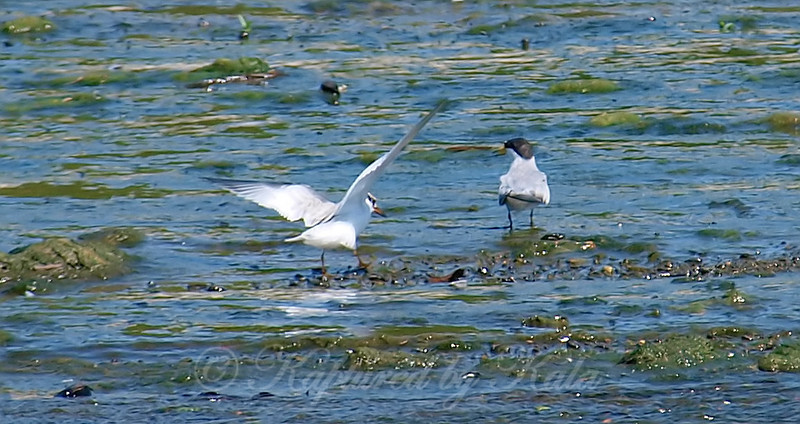 Interior Least Tern Adult with Juvenile