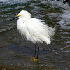 My First Snowy Egret View 1