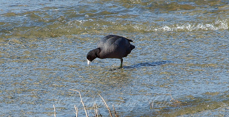 One-legged Coot View 1
