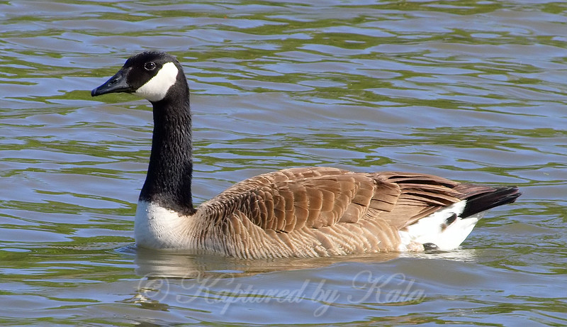 Canada Goose Pops In For A Swim
