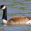 Canada Goose Pops In For A Swim