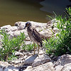 Juvenile Yellow-Crowned Night Heron In Its Natural Environment