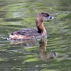 Cute Little Pied-billed Grebe