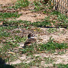 Spotted A Nesting Killdeer