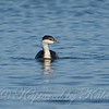 Horned Grebe Coming Towards Me