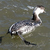 Horned Grebe's Swimming Legs