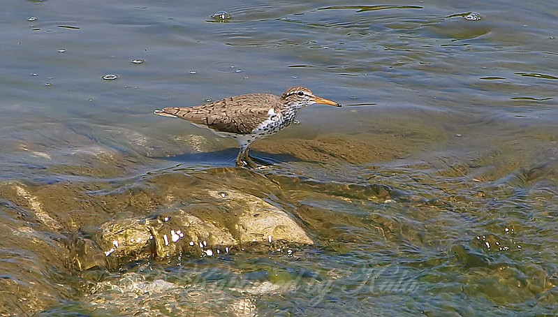 Spotted Sandpiper Remembers To Keep An Eye On The Sky For Predators